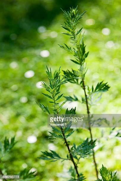 Mugwort, Artemisia vulgaris, healing plant
