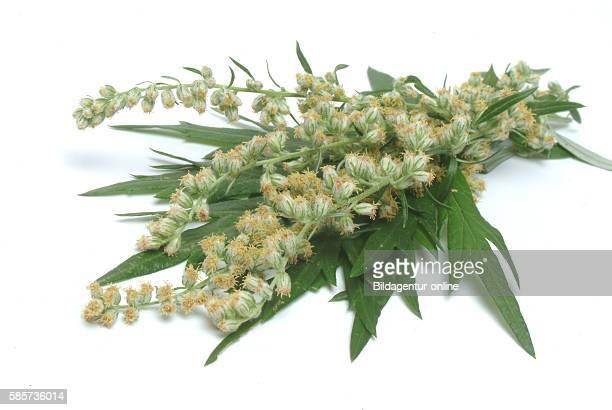 Mugwort, Wegwood, Artemisia vulgaris. Mugworts are used medicinally, especially in Chinese, Japanese, and Korean traditional medicine. Some mugworts...