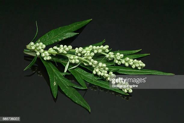 Mugwort Wegwood Artemisia vulgaris Mugworts are used medicinally especially in Chinese Japanese and Korean traditional medicine Some mugworts have...