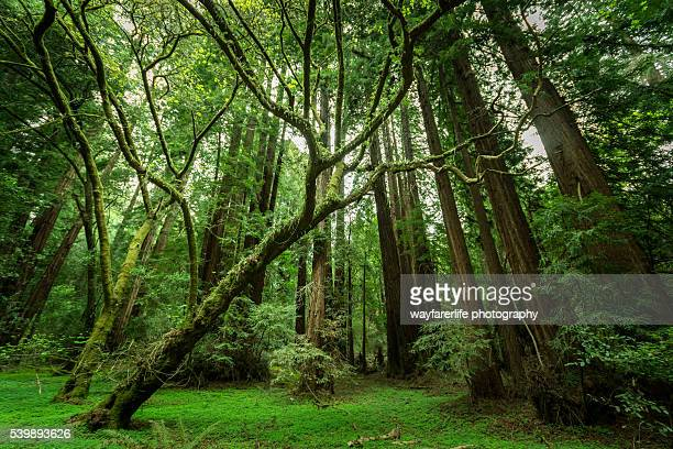 muir woods national monument, ca, usa - sequoia national park stock pictures, royalty-free photos & images