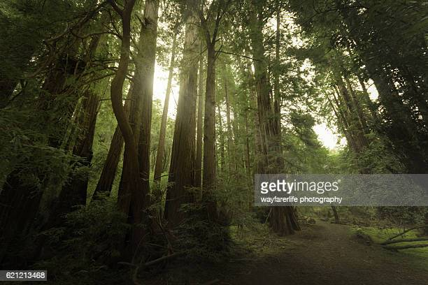 muir woods national monument, ca, usa - muir woods stock photos and pictures