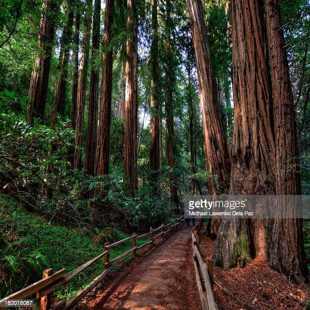 muir woods national monument - muir woods stock photos and pictures
