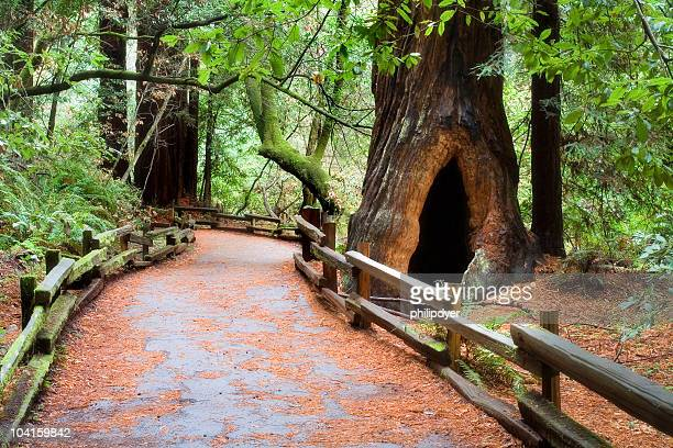 muir woods path - national forest stock pictures, royalty-free photos & images