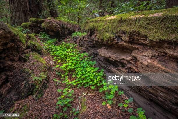 muir woods shamrocks growing in fallen redwood tree - muir woods stock photos and pictures