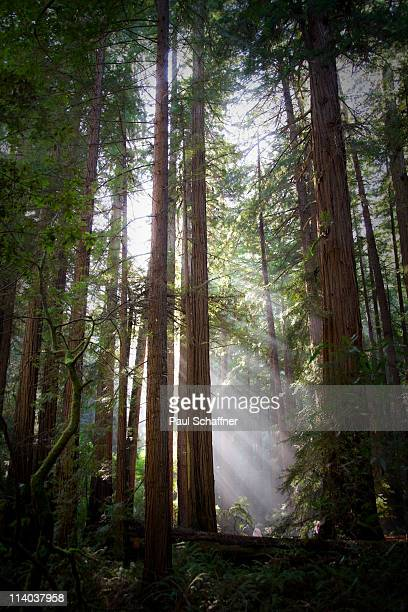 muir woods sunlight - muir woods stock photos and pictures