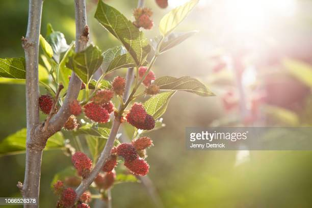 mulberries on tree - mulberry tree stock pictures, royalty-free photos & images