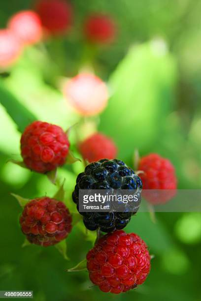 mulberries - mulberry tree stock pictures, royalty-free photos & images
