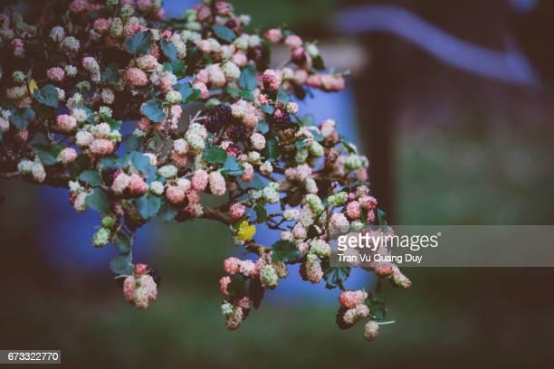 mulberries - マルベリー ストックフォトと画像
