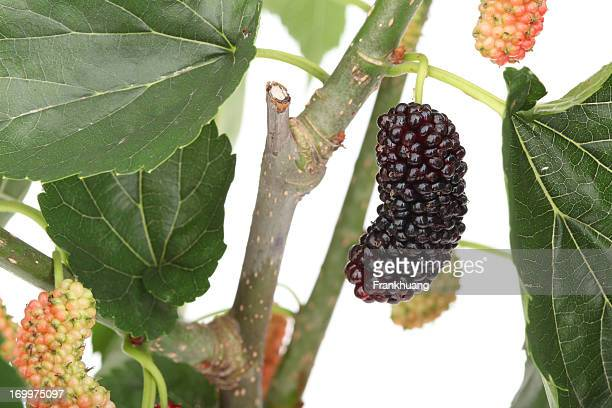 mulberry fruit on tree - mulberry tree stock pictures, royalty-free photos & images