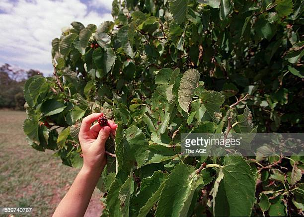 Mulberry fruit picking in the Darebin Parklands, 6 January 2000. The AGE Picture by ANDREW DE LA RUE