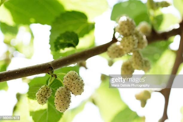 Mulberry fruits on tree. (Morus alba)