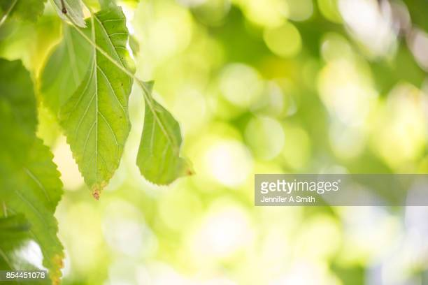 Mulberry Leaves and Bokeh