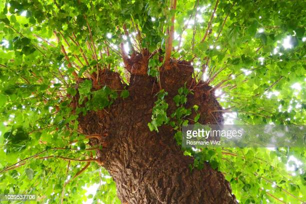 Mulberry tree crown seen from below
