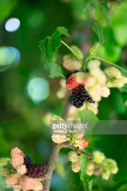mulberry tree - mulberry tree stock pictures, royalty-free photos & images
