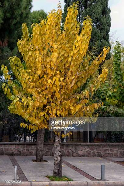 mulberry tree with autumn colors on the pavement ,izmir. - emreturanphoto stock pictures, royalty-free photos & images