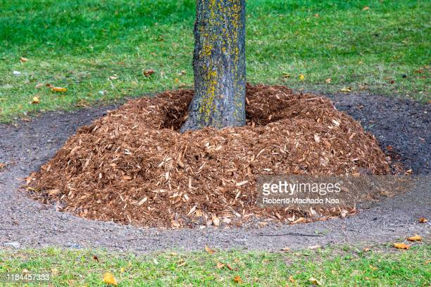 mulch at the base of a tree trunk at winter approaches - mulch stock pictures, royalty-free photos & images