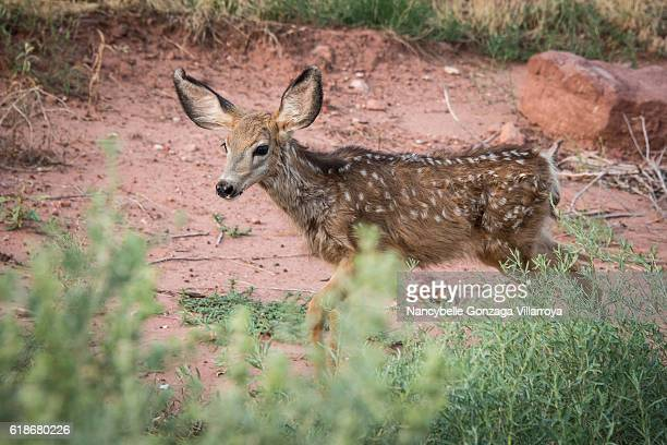 mule deer at zion national park - mule deer stock photos and pictures
