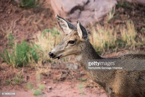 mule deer at zion national park - nancybelle villarroya stock photos and pictures