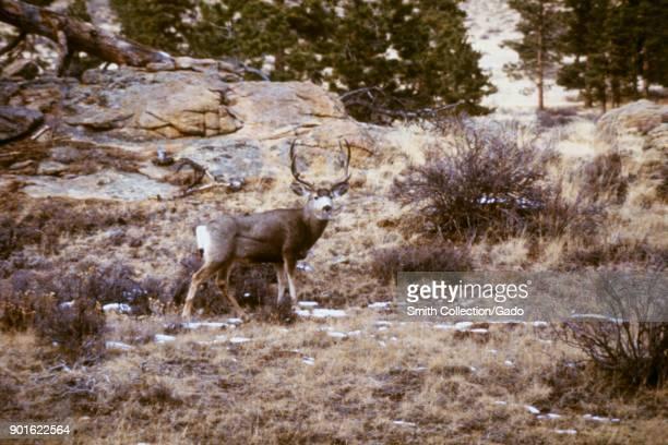 Mule deer buck Odocoileus hemionus in the opening plague and tick fever study Estes Park Colorado 1975 Image courtesy Centers for Disease Control