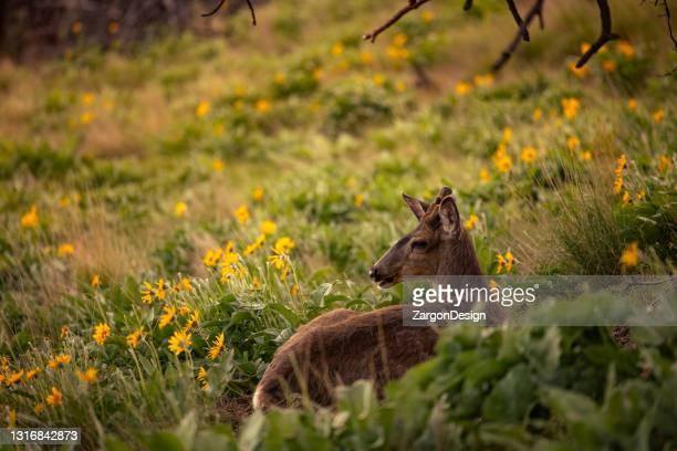 mule deer buck - okanagan valley stock pictures, royalty-free photos & images