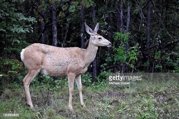 mule deer (odocoileus hemionus), doe, jasper national park, canadian rockies, alberta, canada - vista lateral stock pictures, royalty-free photos & images