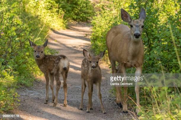 mule deer (odocoileus hemionus) fawns and mother on dirt road, glacier national park, montana, usa - biche photos et images de collection