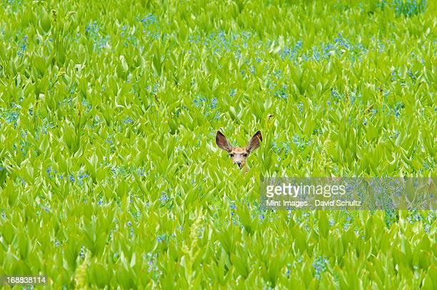 ミュールジカ隠れた現場での野生の花々と - バイケイソウ ストックフォトと画像