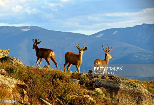3 mule deer looking around - colorado rocky mountains - mule deer stock photos and pictures
