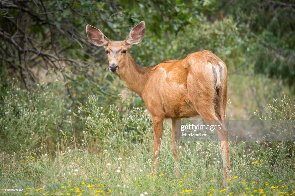 Mule Deer looking at camera : Stock Photo