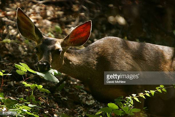 A mule deer moves through Santa Ynez Canyon in Topanga State Park on May 21 2008 in Los Angeles California California's entire state park system the...