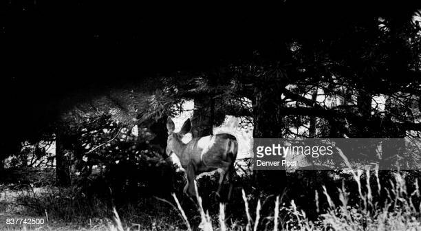 A mule deer on Boulder's Flagstaff Mountain turns tail and returns to the forest when human visitors ventured too close Cool mountains have become...