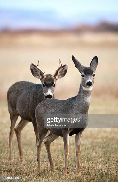 Mule deer (Odocoileus Hemionus Malheur).