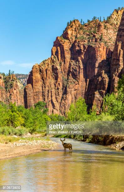 mule deer standing in stream against mountain - mule deer stock photos and pictures