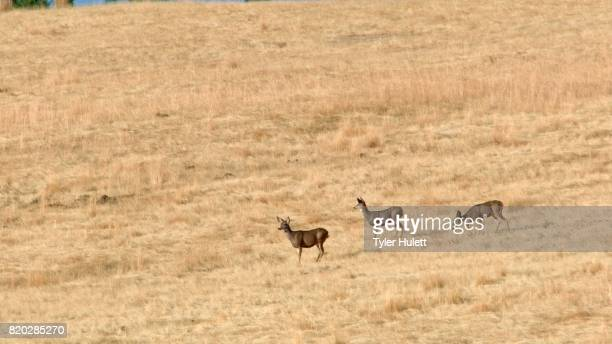 mule deer walking across field western ranch oregon 5 - steens mountain stock pictures, royalty-free photos & images