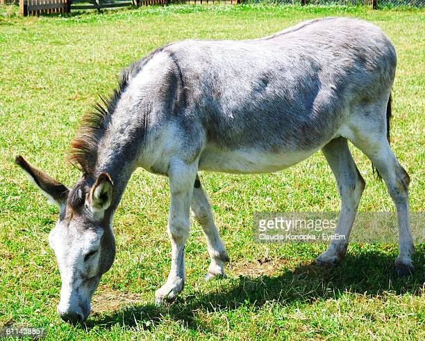 Mule Grazing On Landscape
