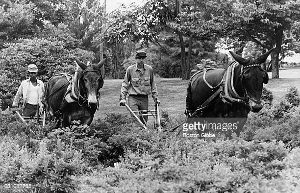 Mule pulled plows are used to cultivate plants at Weston Nurseries in Hopkington Mass on July 26 1973 The plants are close together and a machine...