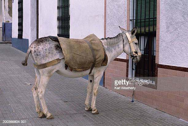 Mule tied to window, Andalusia, Spain