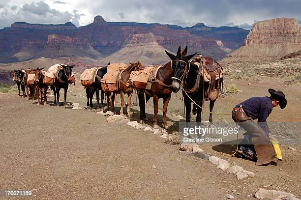 CONTENT] A mule train and its driver stop at the Tipoff about two miles up the South Kaibab Trail from the Colorado River in the Grand Canyon Mesas...