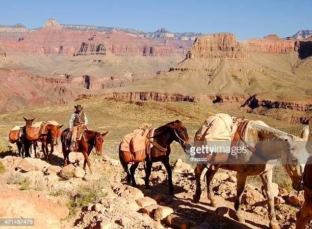 mule train in the grand canyon - theasis stockfoto's en -beelden