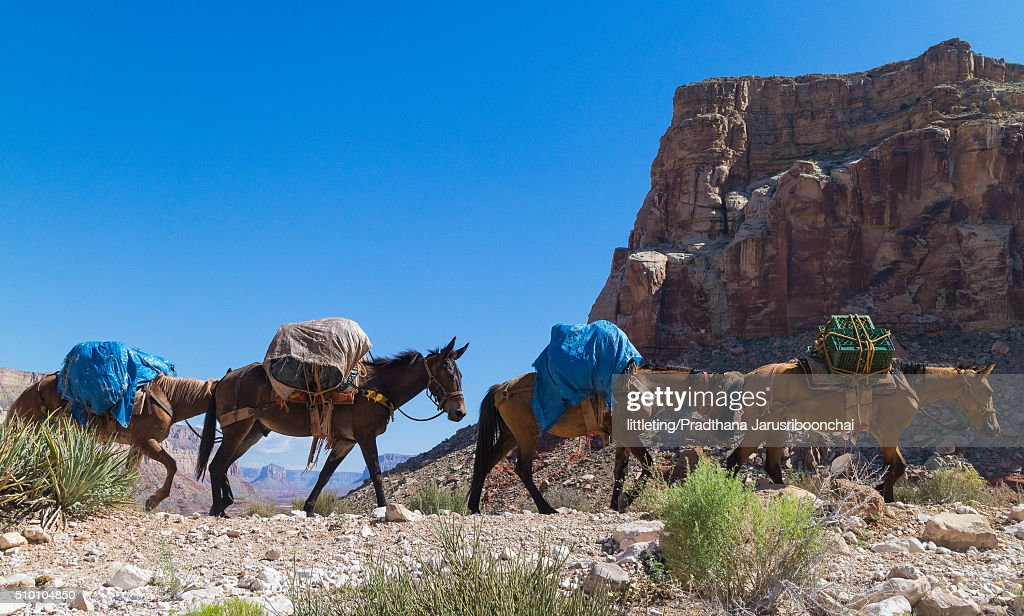 Mules carrying loads along the Havasu trail : Stock Photo