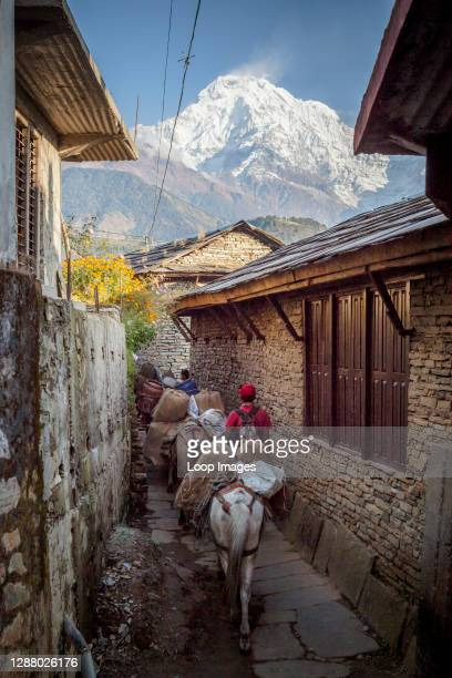 Mules carrying supplies through a village with Dhaulagiri in the background.