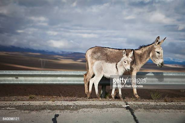 Mules crossing road