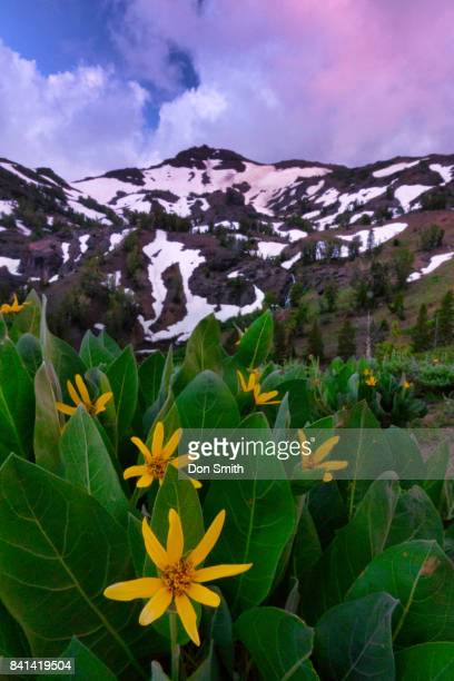 mules ears along pacific crest trail - pacific crest trail stock pictures, royalty-free photos & images