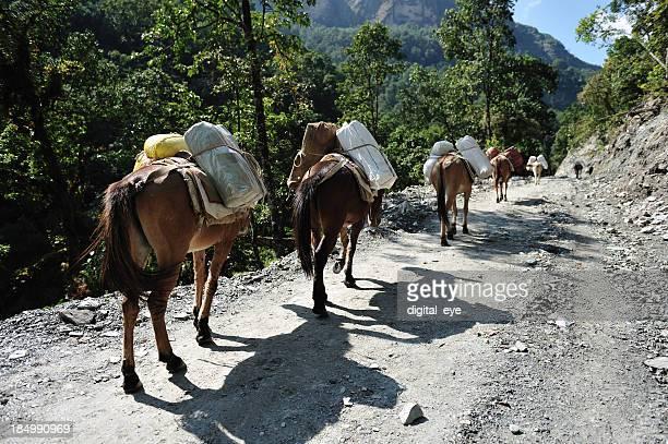 espeletia no himalaya - mula imagens e fotografias de stock