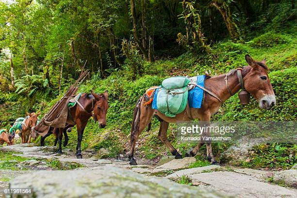 Mules or horse carrying the baggage.