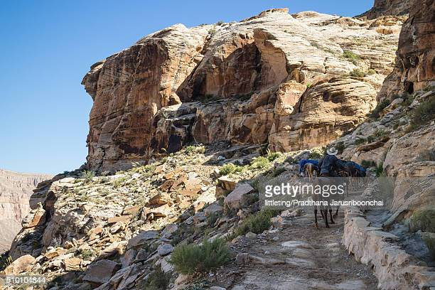 mules packed with loads going up trails - havasu canyon - havasu canyon stock photos and pictures