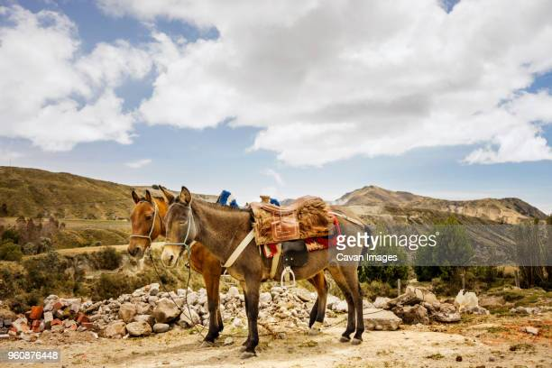 mules standing on field against mountains and cloudy sky - mula imagens e fotografias de stock