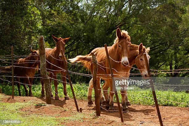 Mules walking at ranch.