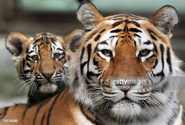 A Siberian baby tiger stands next to his mother 06 June 2007 as he makes his first public appearance at the zoo in Mulhouse eastern France Two...
