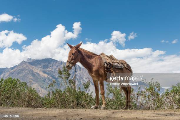 muli on the gravel road in the mountains towards choquequirao, south, peru - mula imagens e fotografias de stock